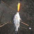 気まぐれ釣り人さんの宮崎県宮崎市でのコトヒキの釣果写真