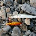 しおじ~さんの静岡県での釣果写真
