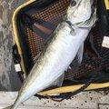 最近はアジングばっかりさんの鳥取県岩美郡での釣果写真