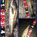 ポニーさんの千葉県船橋市での釣果写真