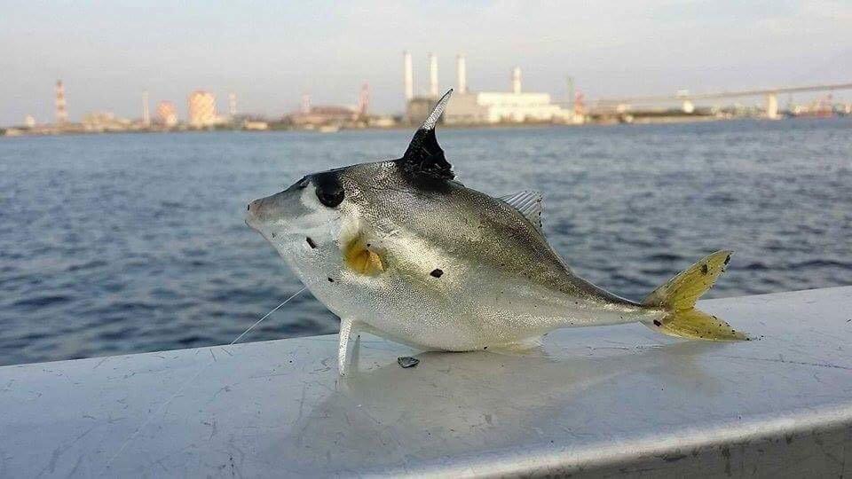 まるたさんの投稿画像,写っている魚はギマ