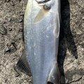 こうぺいさんの高知県土佐市での釣果写真