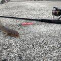 釣りメンさんの熊本県水俣市での釣果写真