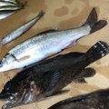 かわさんの長野県北安曇郡での釣果写真