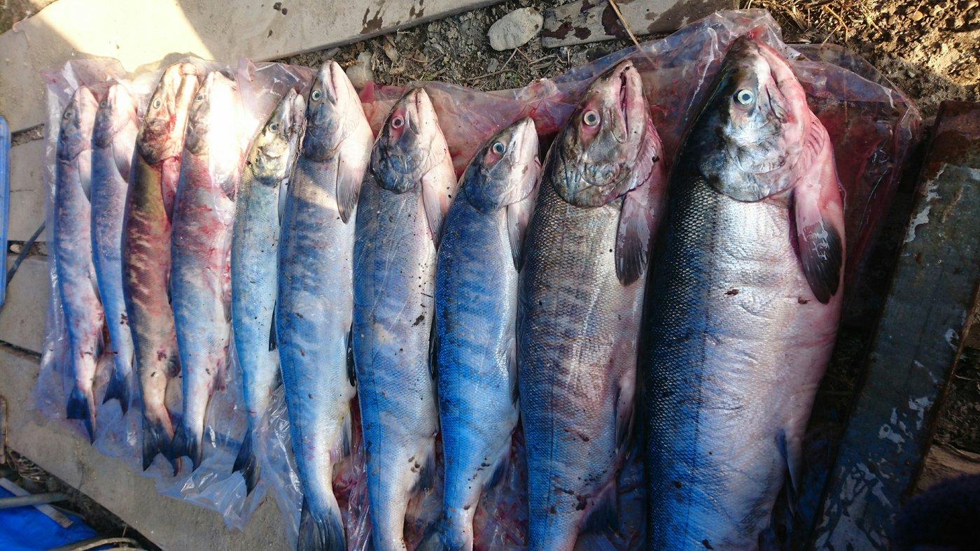 kaoさんの投稿画像,写っている魚はサケ