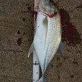 はるさんの鹿児島県大島郡でのギンガメアジの釣果写真