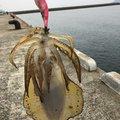 すーぺーさんの長崎県でのアオリイカの釣果写真