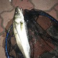 せいやさんの鳥取県岩美郡での釣果写真