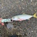 yumeさんの兵庫県加古川市での釣果写真