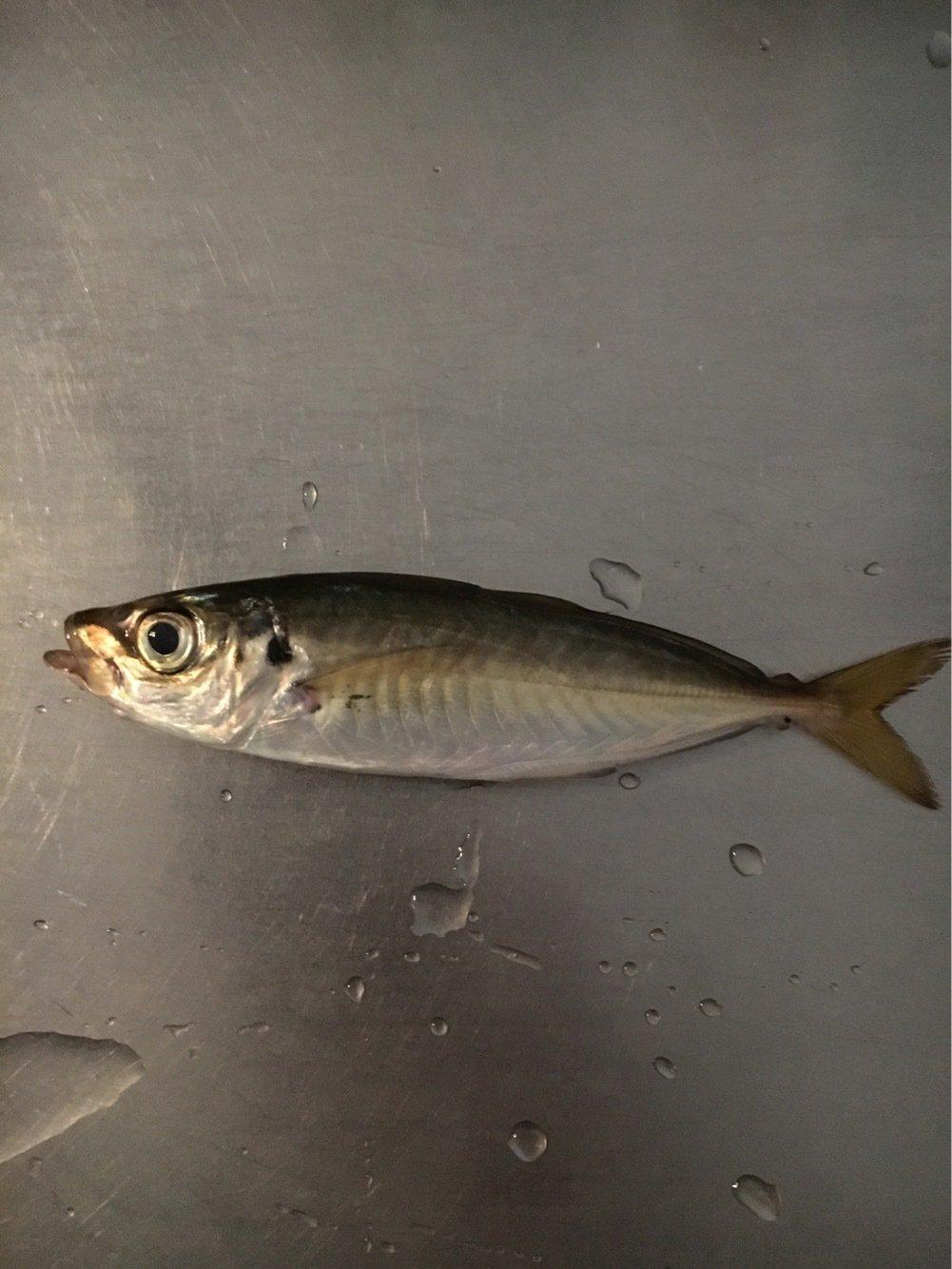K1さんの投稿画像,写っている魚はアジ