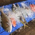 薩摩 遊漁船団 糸さんの鹿児島県西之表市での釣果写真