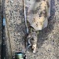 瀬極会★Bluerunnerさんの福岡県でのアオリイカの釣果写真