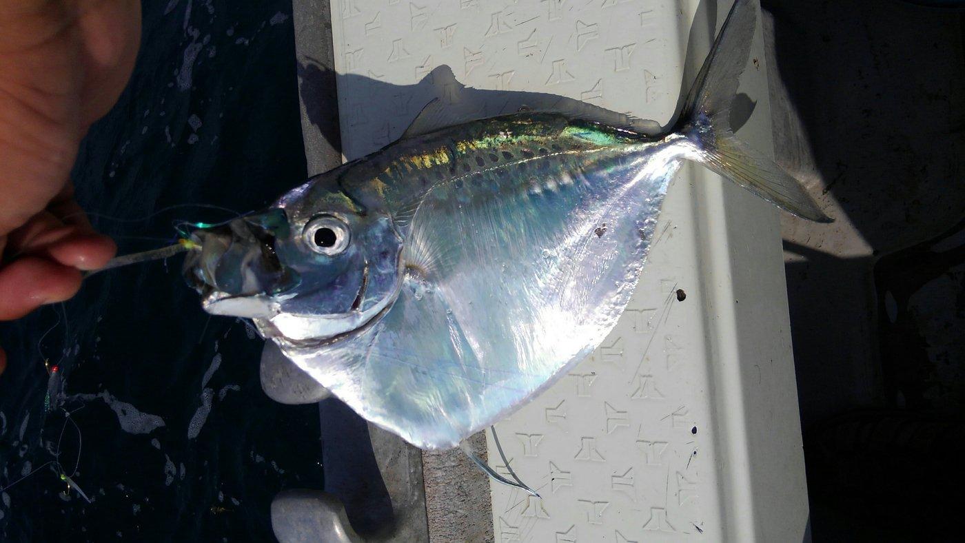 mrfjさんの投稿画像,写っている魚はギンカガミ