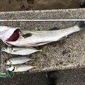 むーさんの石川県白山市での釣果写真