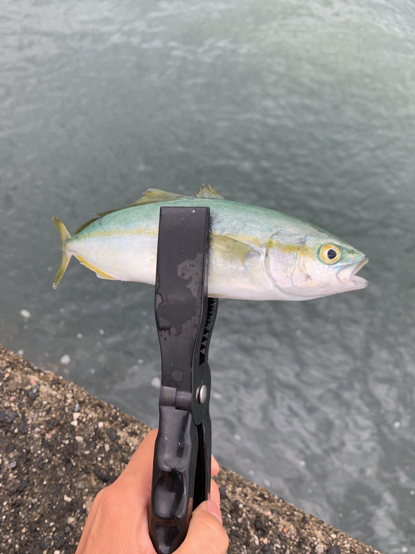 GiBAeさんの投稿画像,写っている魚はブリ