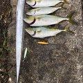 SHOさんのタチウオの釣果写真