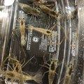 Kpapaさんの埼玉県でのブルーギルの釣果写真