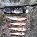 minminさんの青森県でのアイナメの釣果写真
