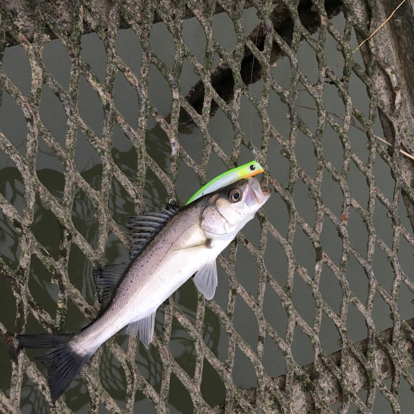 YUKIYAさんの投稿画像,写っている魚はスズキ