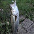 バラモスラさんの茨城県水戸市での釣果写真