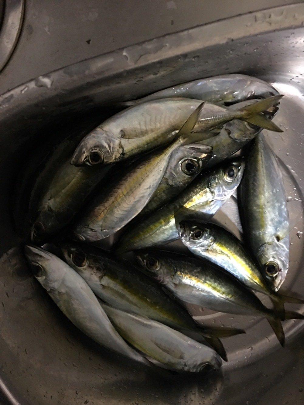 ヒロユキさんの投稿画像,写っている魚はアジ