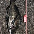 ナブラ太郎さんの和歌山県でのクロダイの釣果写真