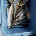 ヒロさんの三重県鈴鹿市での釣果写真