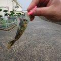 光さんの香川県観音寺市での釣果写真