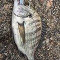 $HIROLYNさんのキュウセンの釣果写真