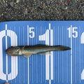 JOさんの愛知県でのカジカの釣果写真