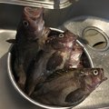 Akiさんの北海道でのキツネメバルの釣果写真