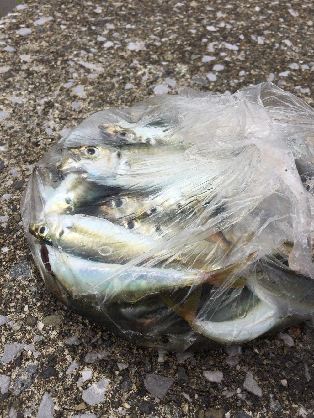 エソさんの投稿画像,写っている魚はアジ