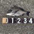 シーバッサーさんの千葉県習志野市での釣果写真