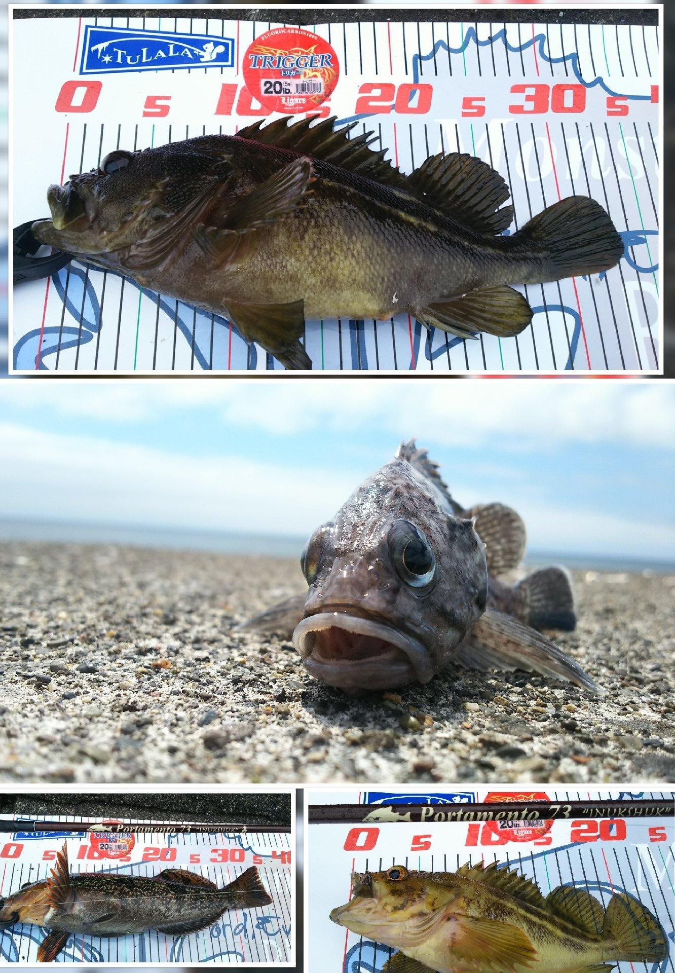 かなぼうさんの投稿画像,写っている魚はキツネメバル,シマゾイ,アイナメ