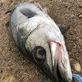 はんたまるさんの宮城県多賀城市での釣果写真