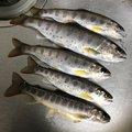 NIKUDARUMA96さんの岐阜県でのヤマメの釣果写真