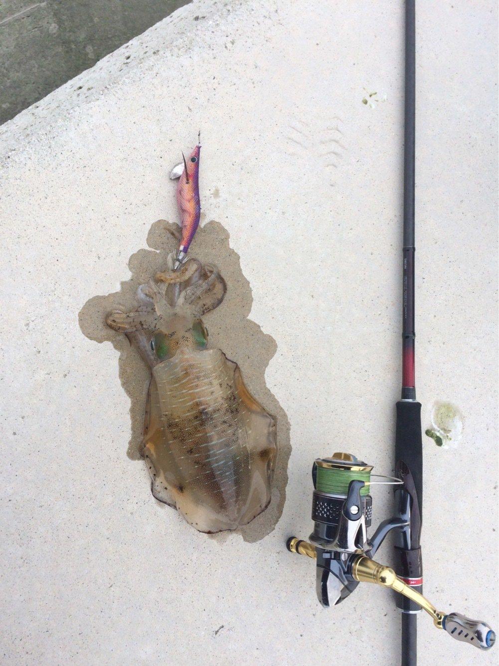 ともたろうさんの投稿画像,写っている魚はアオリイカ