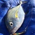 yoshiさんの沖縄県でのカスミアジの釣果写真