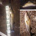 マンボウさんの千葉県船橋市でのスズキの釣果写真