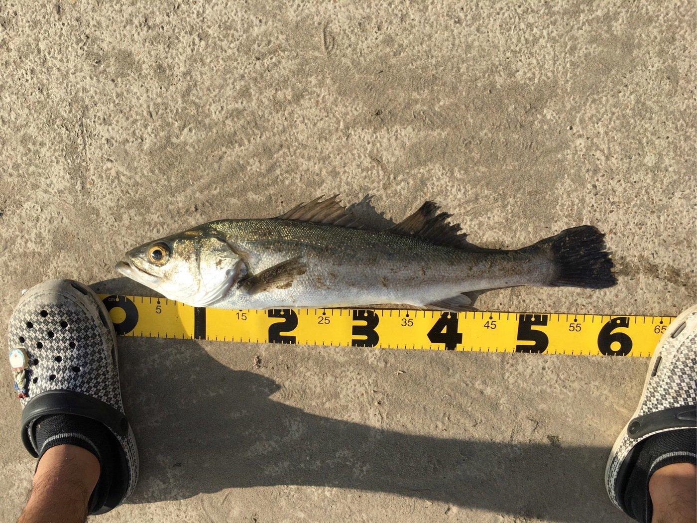Kさんの投稿画像,写っている魚はスズキ