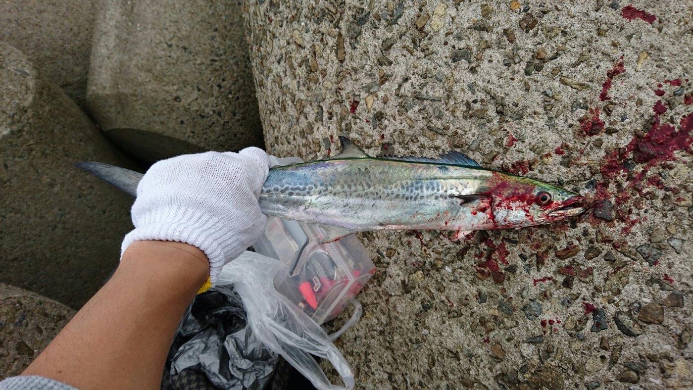 たっつーさんの投稿画像,写っている魚はサワラ