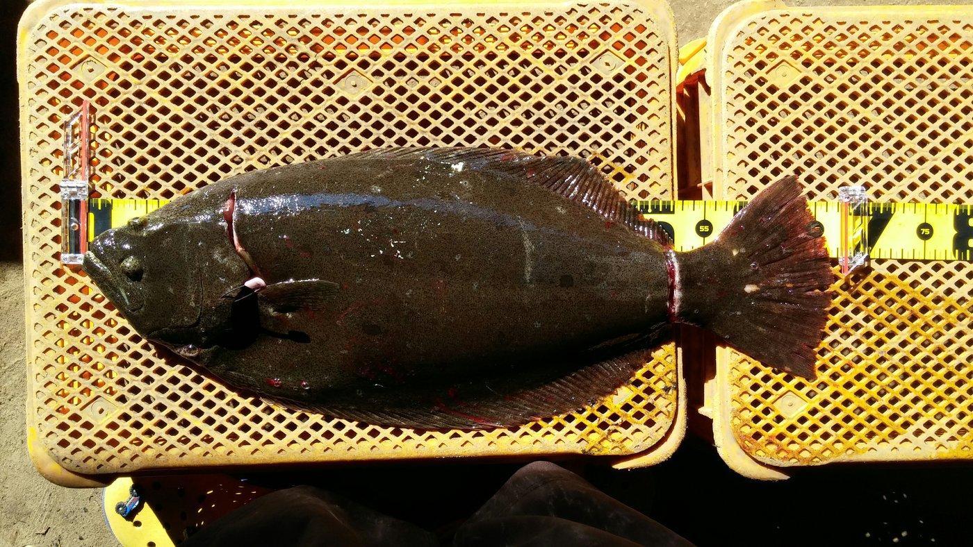 赤イソさんの投稿画像,写っている魚はヒラメ