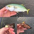 かめんぐさんのオオモンハタの釣果写真