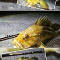 かなぼうさんのシマゾイの釣果写真