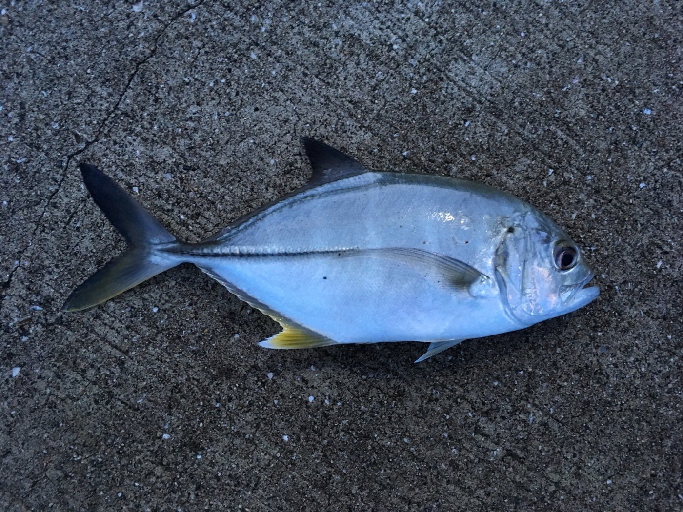 オキさんの投稿画像,写っている魚はギンガメアジ