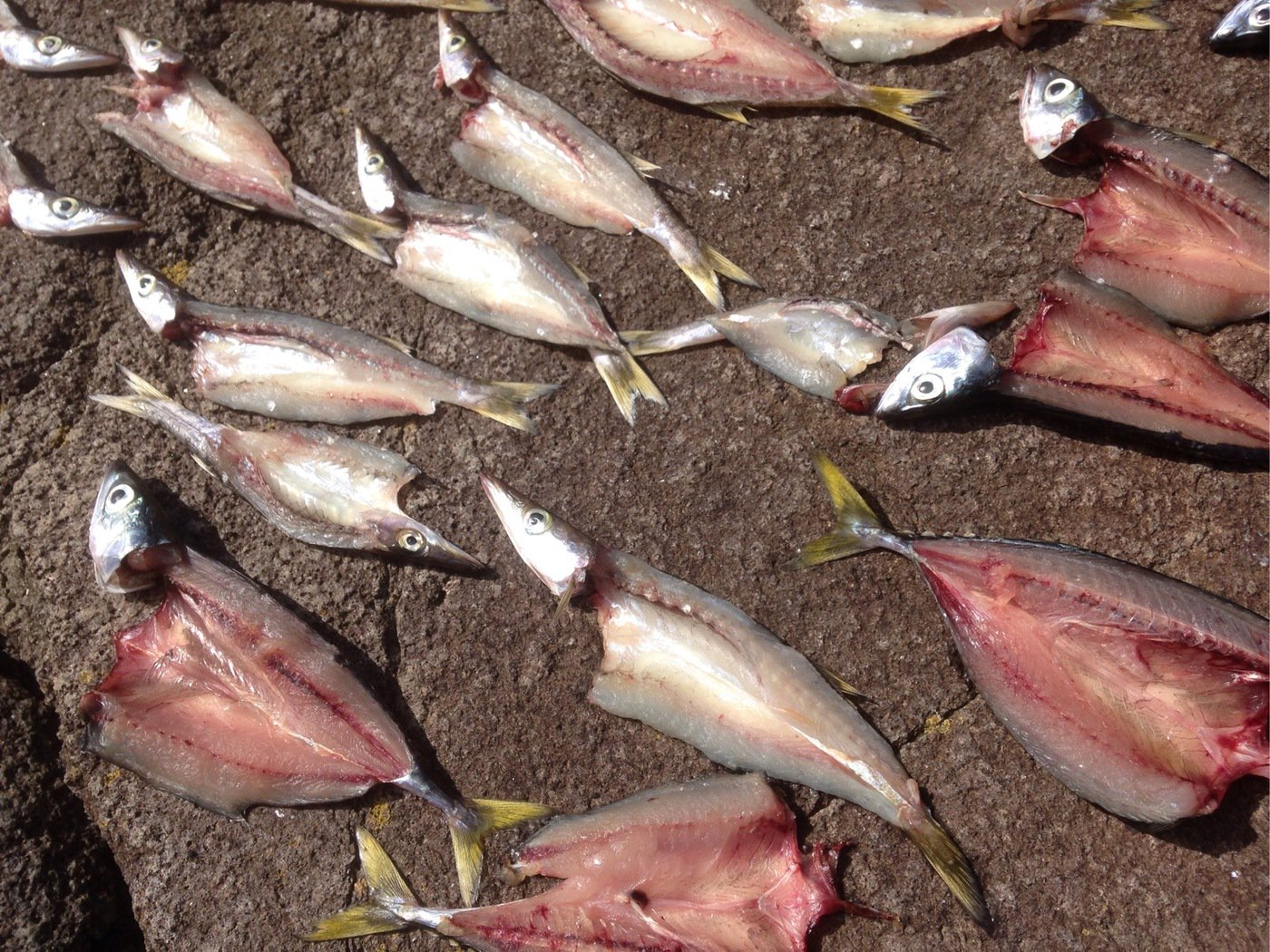 isanさんの投稿画像,写っている魚はカマス