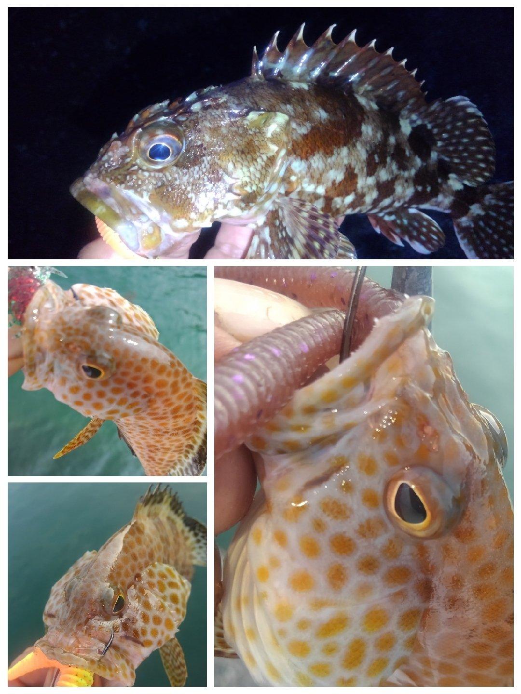 KRO さんの投稿画像,写っている魚はカサゴ,オオモンハタ