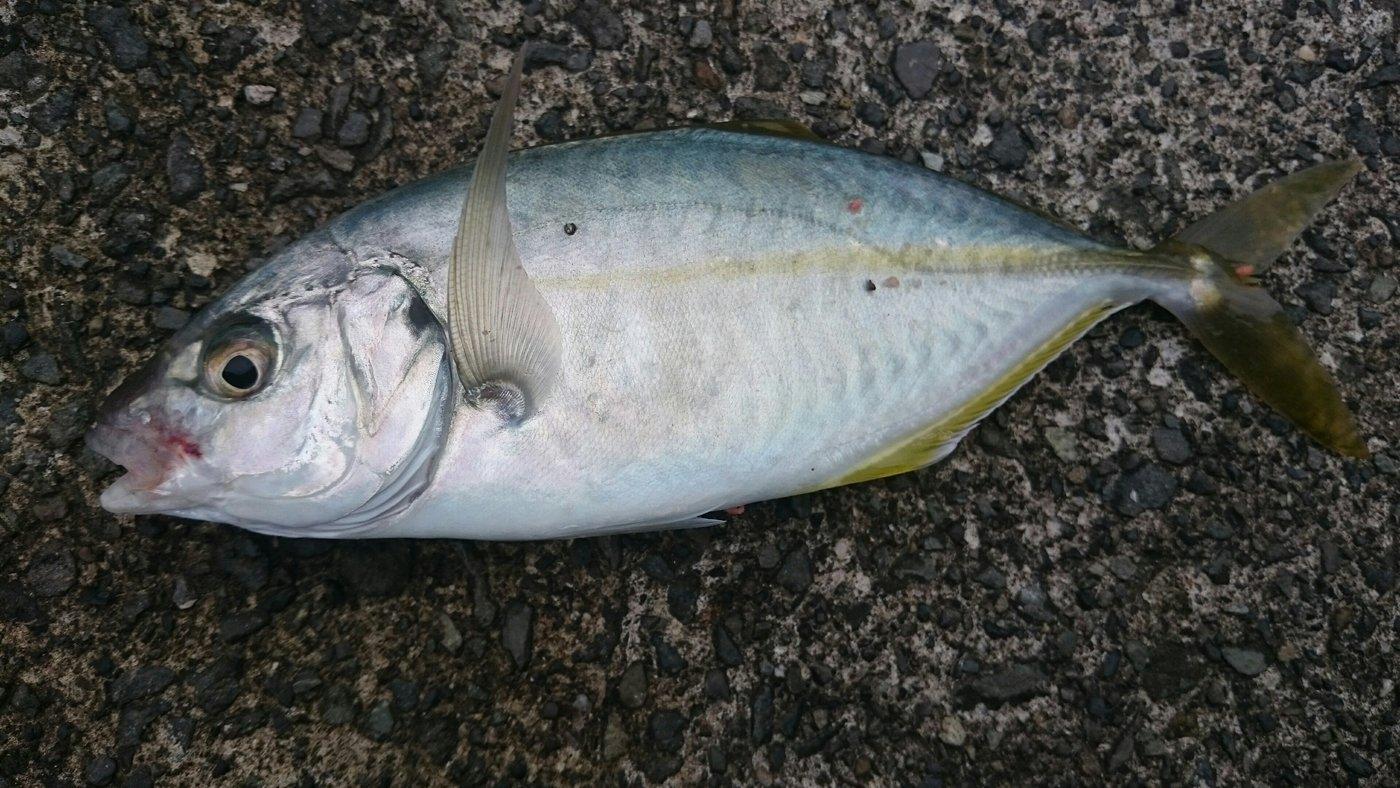 yasushiさんの投稿画像,写っている魚はシマアジ