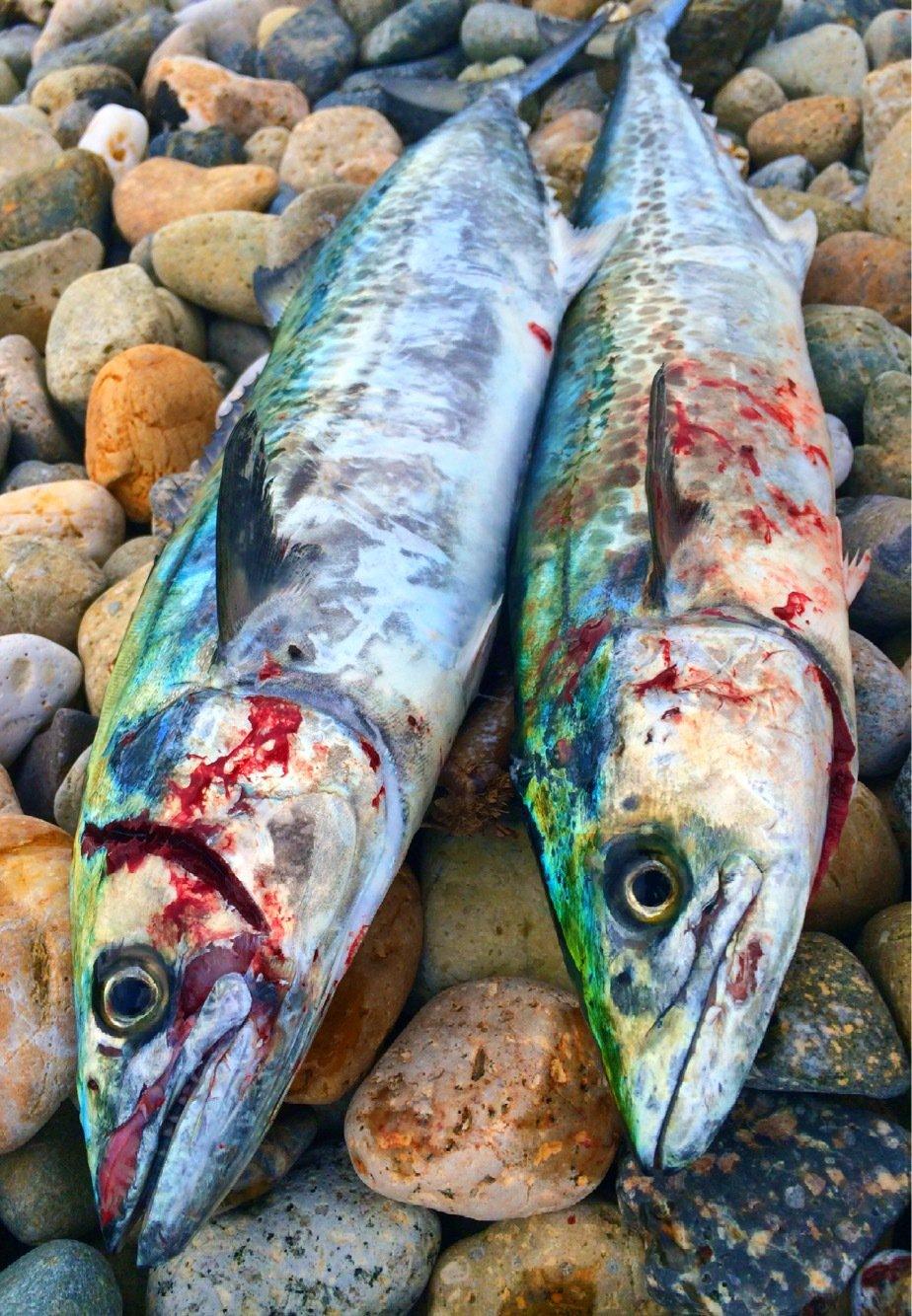 yoshiさんの投稿画像,写っている魚はサワラ