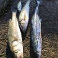 マックさんの石川県羽咋市での釣果写真